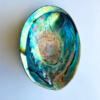 Abalone Paua Muscheln 2